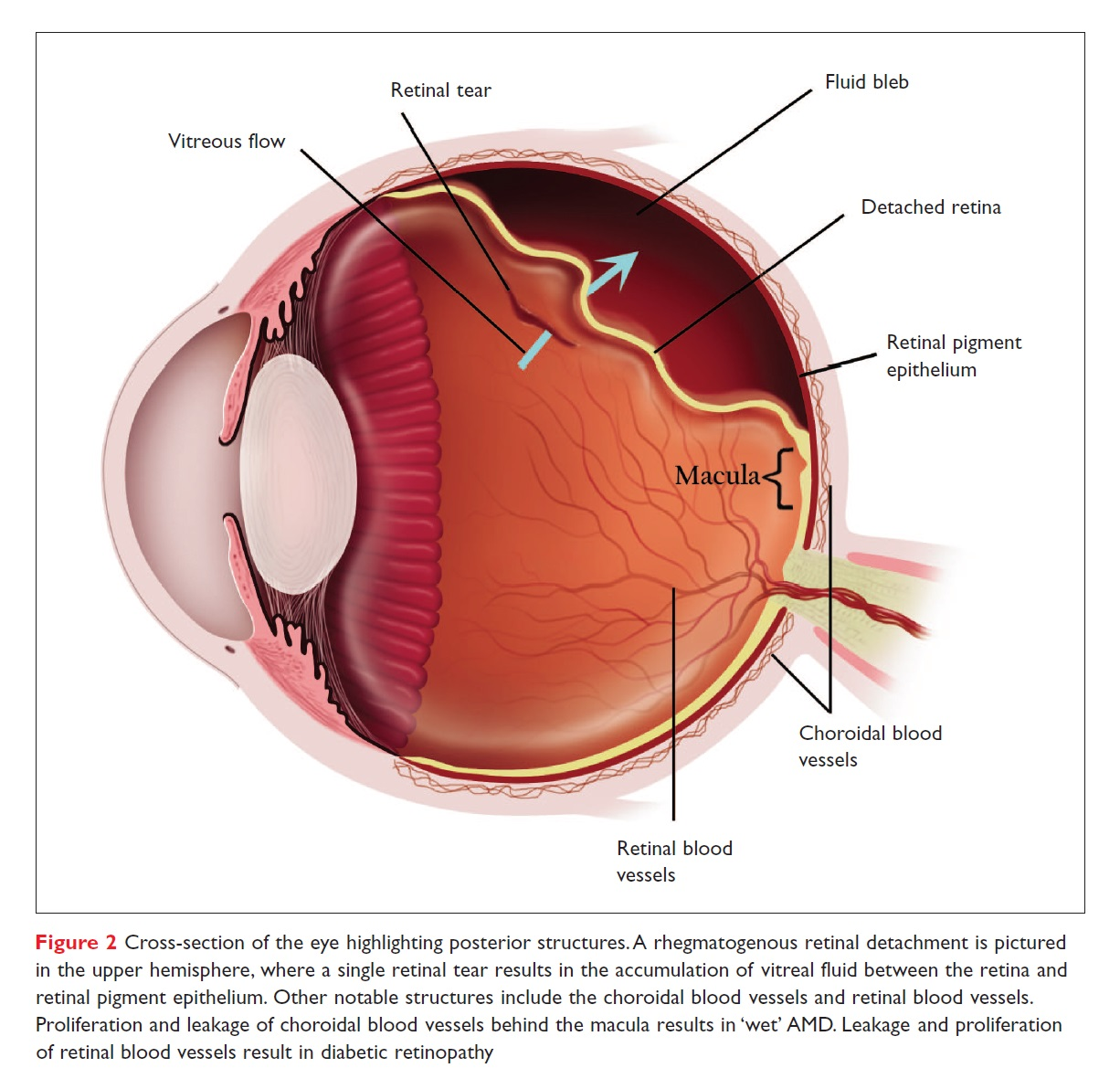 Figure 2 Cross-section of the eye highlighting posterior structures