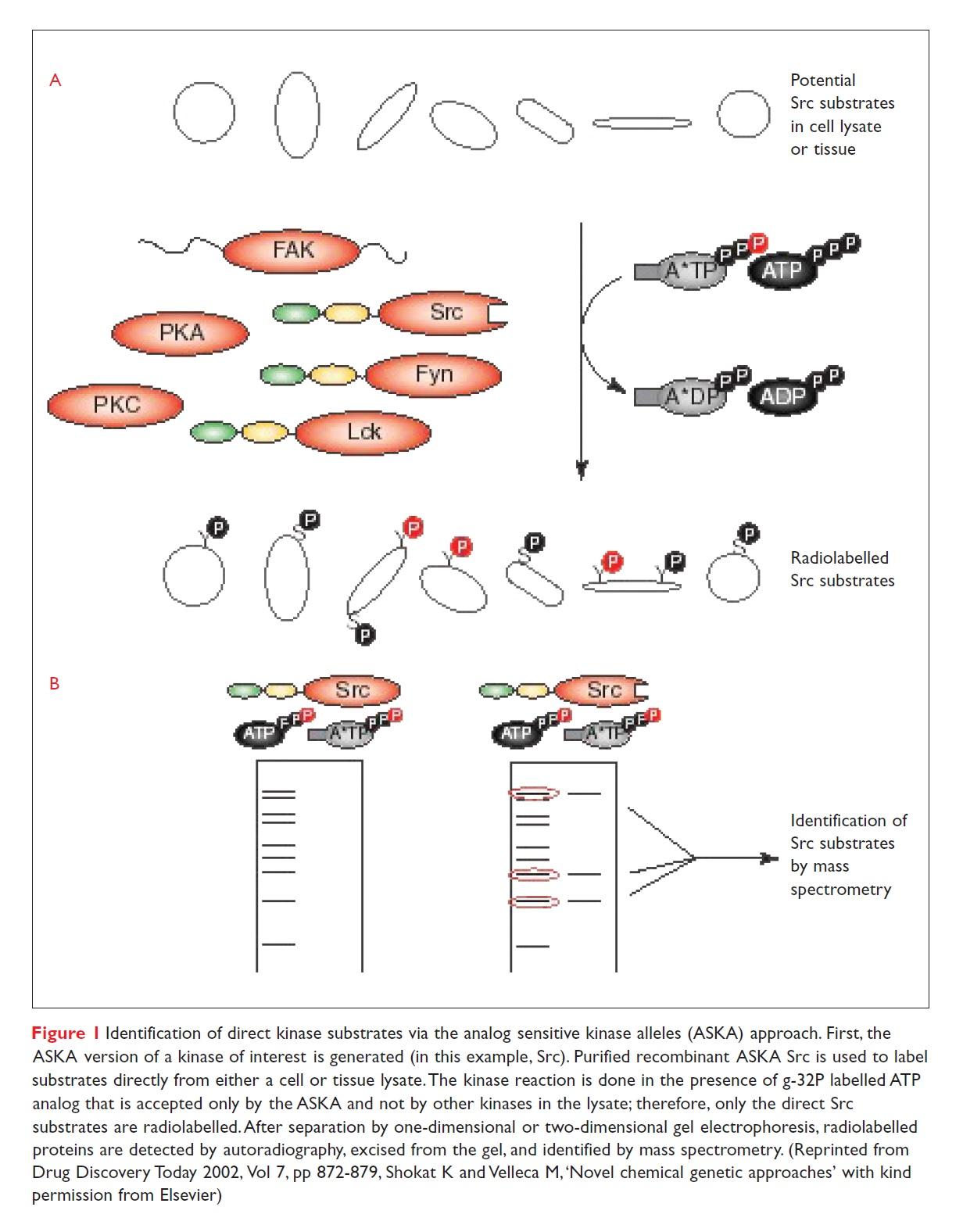 Figure 1 Identification of direct kinase substrates via the analog sensitive kinase alleles (ASKA) approach