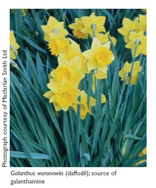 Image 1 Galanthus woronowiis (daffodil), source of galanthamine