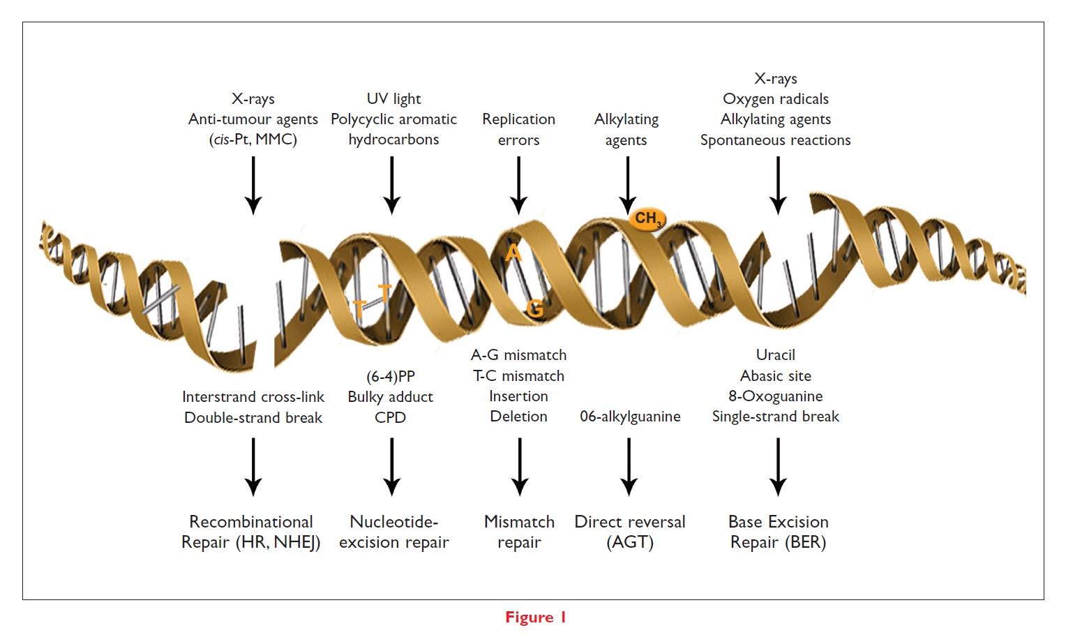 Figure 1 DNA repair illustration