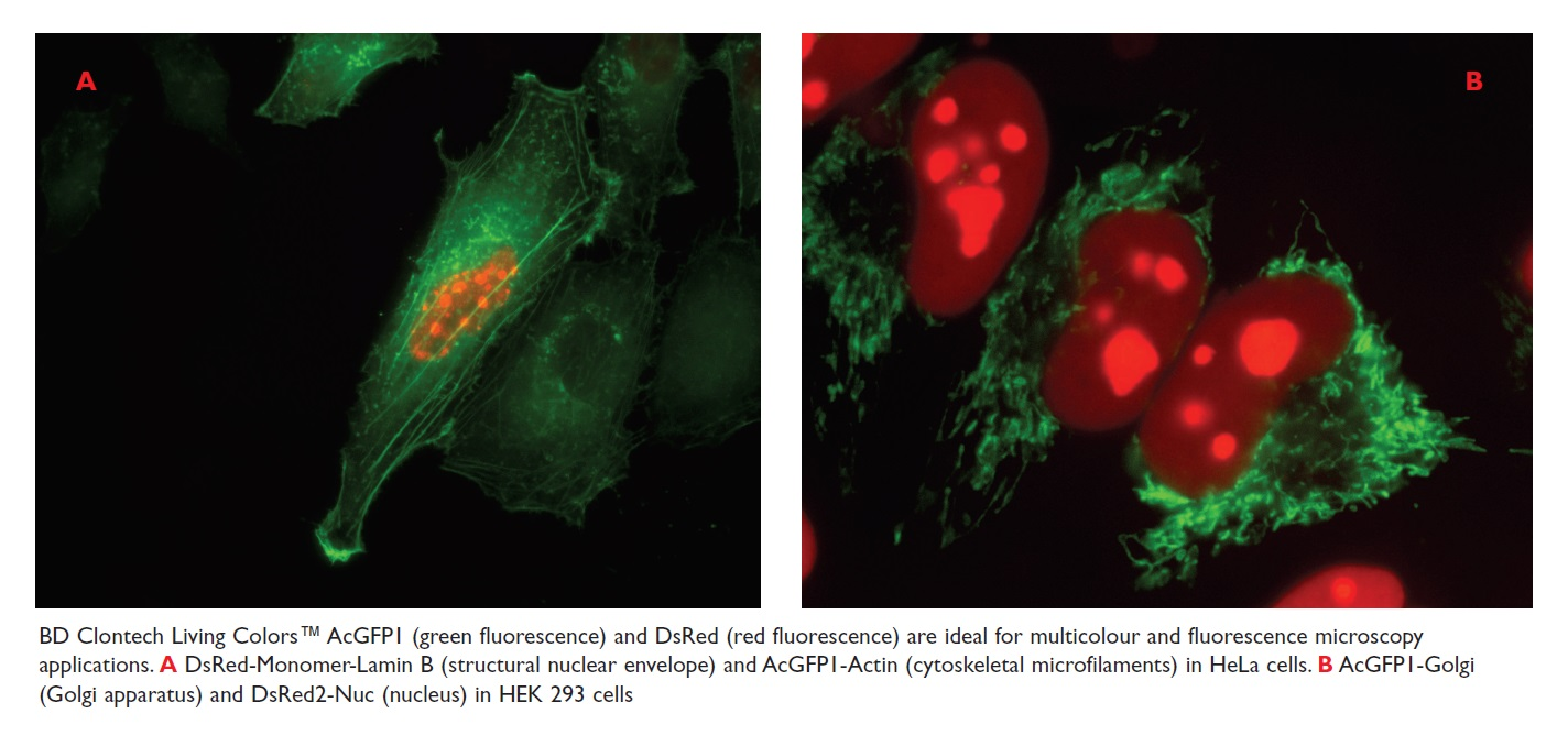 Image 17 BD Clontech Living Colors AcGFPI and DsRed are ideal for multicolour and fluorescence microscopy applications