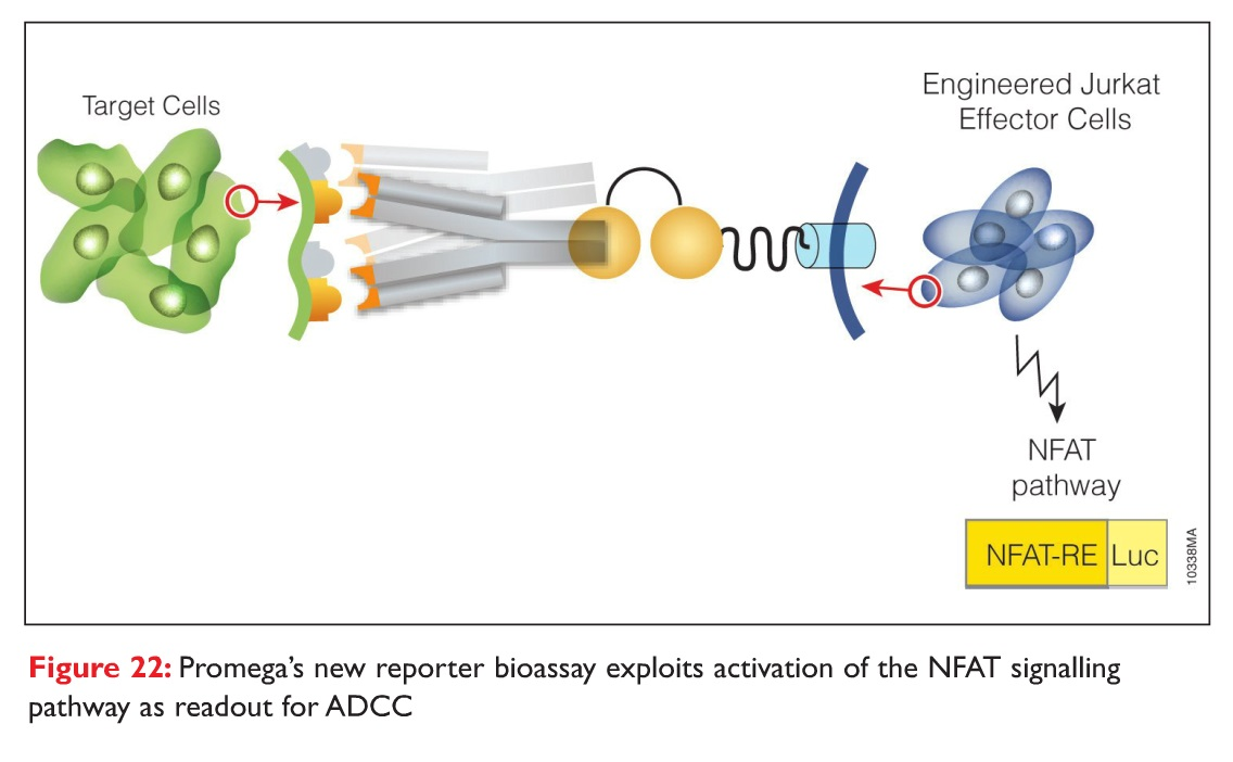 Figure 22 Promega's new reporter bioassay exploits activation of the NFAT signalling pathway as readout for ADCC