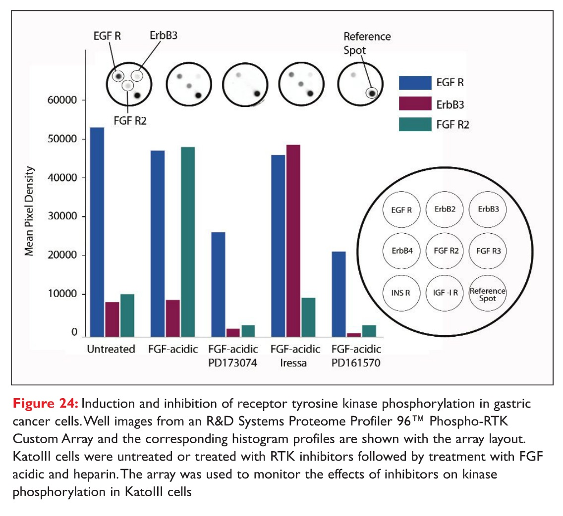Figure 24 Induction and inhibition of receptor tyrosine kinase phosphorylation in gastric cancer cells