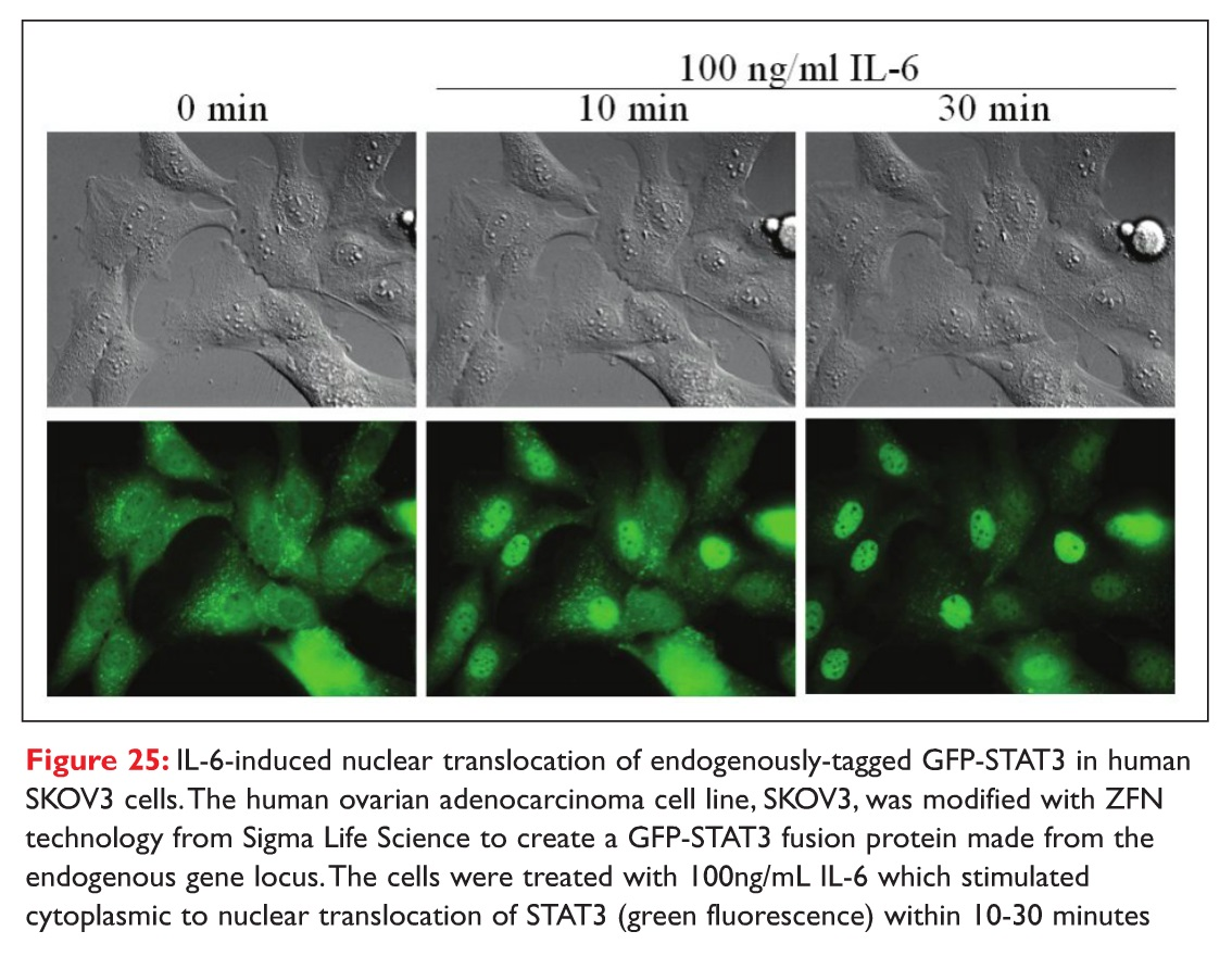 Figure 25 IL-6-induced nuclear translocation of endogenously-tagged GFP-STAT3 in human SKOV3 cells