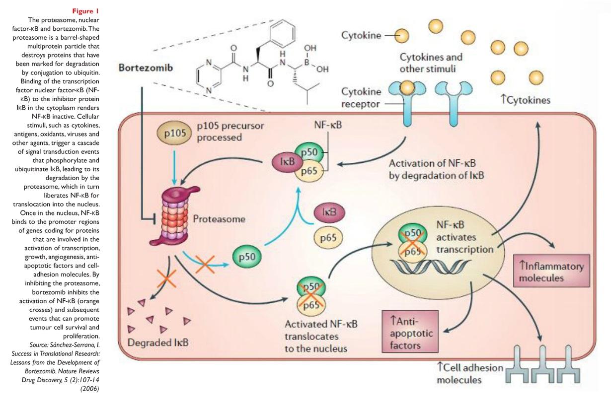 Figure 1 The proteasome, nuclear factor-kb and bortezomib.