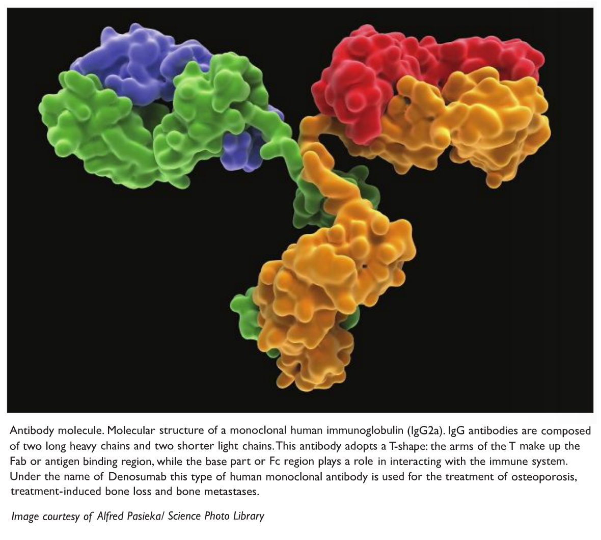 Image 1 Antibody molecule, molecular structure of a monoclonal human immunoglobulin (IgG2a)