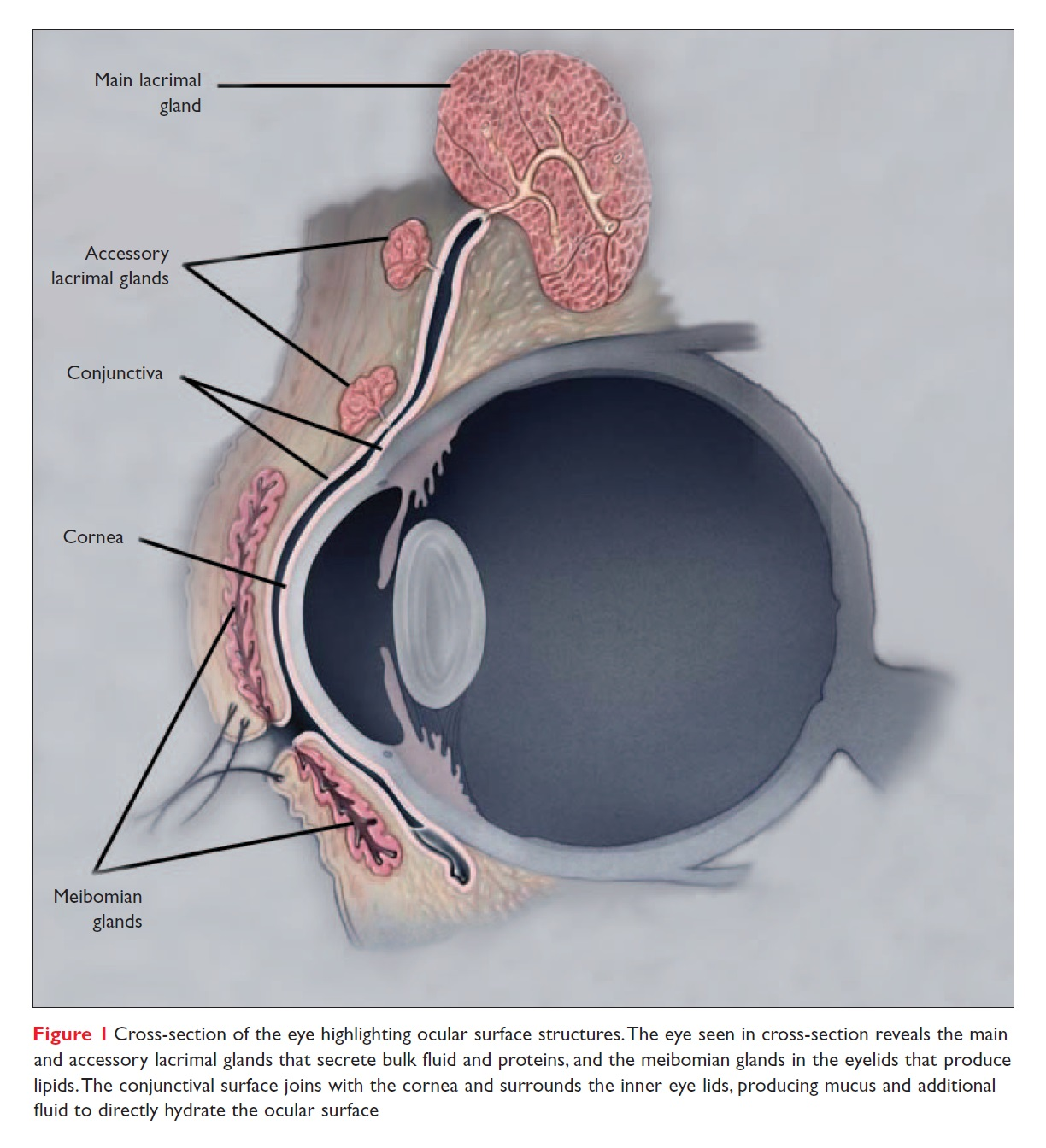 Figure 1 Cross-section of the eye highlighting ocular surface structures