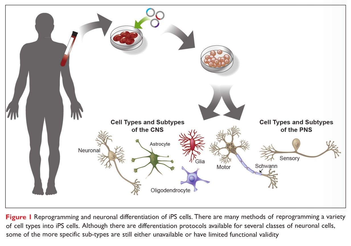 Figure 1 Reprogramming and neuronal differentiation of iPS cells