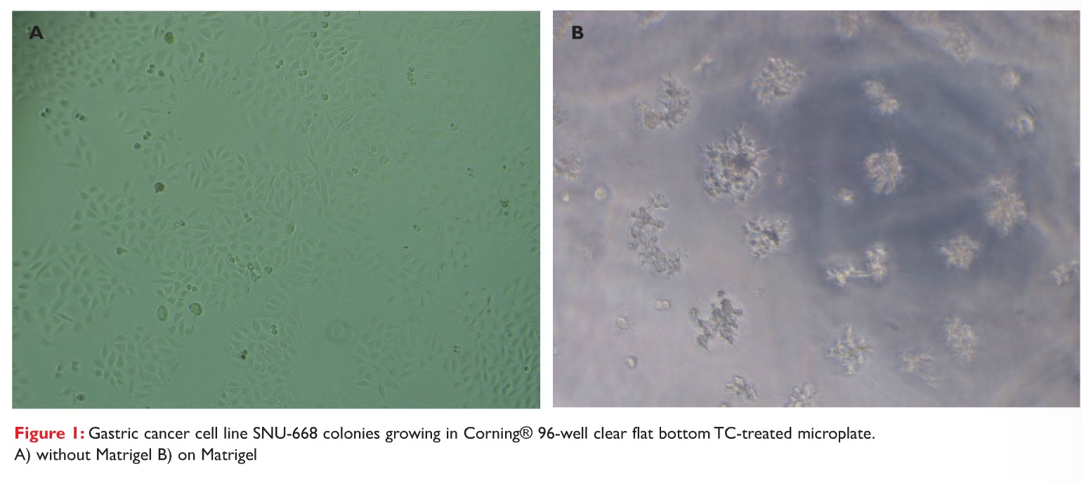 Figure 1 Gastric cancer cell line SNU-668 colonies growing in Corning 96-well clear flat bottom TC-treated microplate