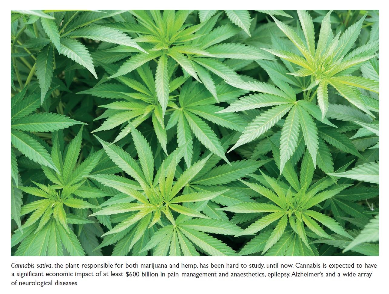 Figure 1 Cannabis sativa, the plant responsible for both marijuana and hemp