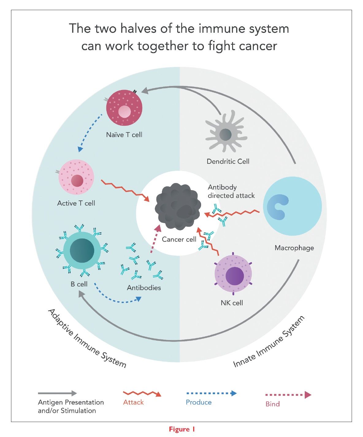 Figure 1 The two halves of the immune system can work together to fight cancer