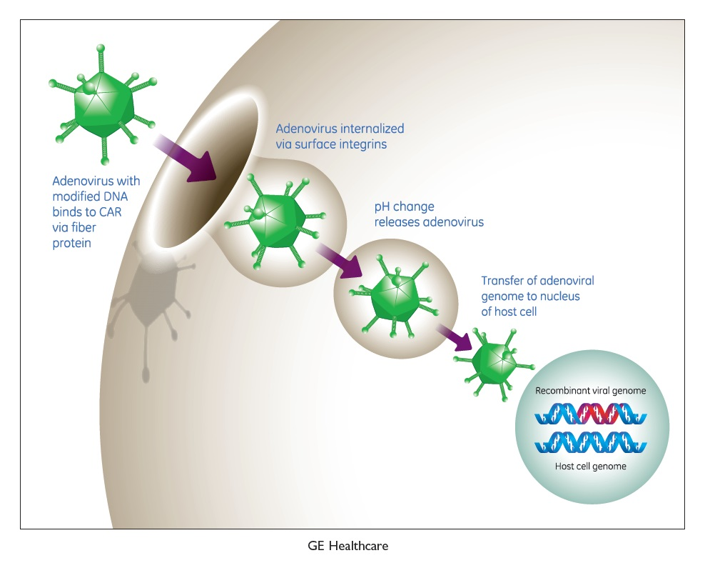 Figure 4 GE Healthcare illustration, Adenovirus with modified DNA binds to CAR via fiber protein