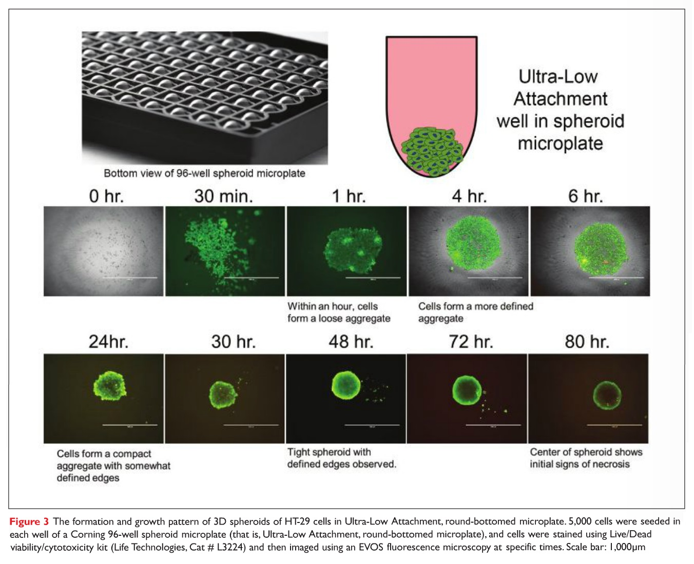 Figure 3 The formation and growth pattern of 3D spheroids of HT-29 cells in Ultra-Low Attachment, round-bottomed microplate