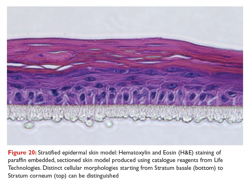 Figure 20 Stratified epidermal skin model: Hematoxylin and Eosin (H&E) staining of paraffin embedded, section skin model