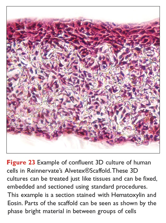 Figure 23 Example of confluent 3D culture of human cells in Reinnervate's Alvetex Scaffold