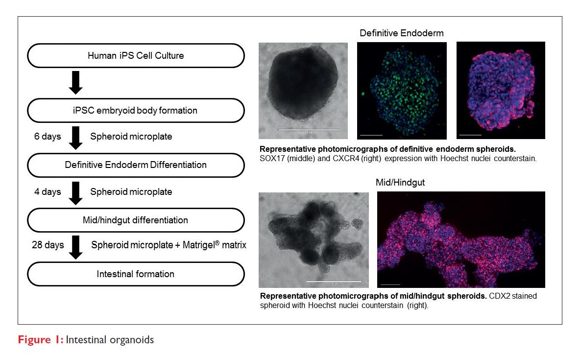 Figure 1 Intestinal organoids
