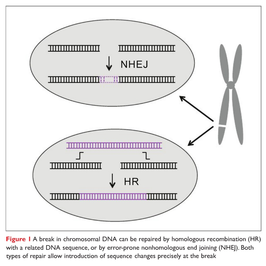 Figure 1 A break in chromosomal DNA can be repaired by homologous recombination (HR) with a related DNA sequence