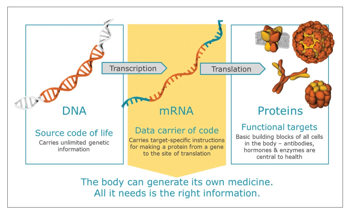 Figure 3 The body can generate it's own medicine, DNA, mRNA and Proteins diagram