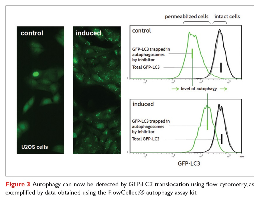 Figure 3 Autophagy can now be detected by GFP-LC3 translocation using flow cytometry