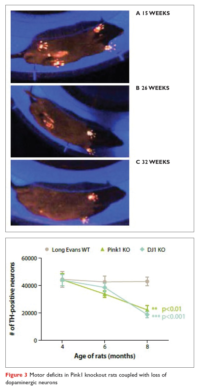 Figure 3 Motor deficits in Pink1 knockout rats coupled with loss of dopaminergic neurons