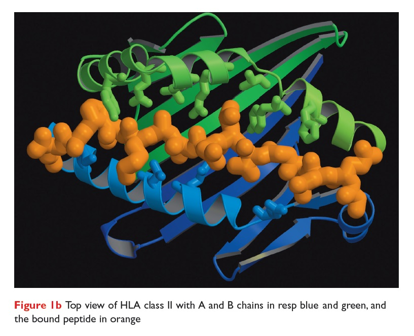 Figure 1b Top view of HLA class II with A and B chains in resp blue and green and the bound peptide in orange